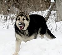 Восточноевропейская овчарка щенки.  Щенки восточноевропейской овчарки.