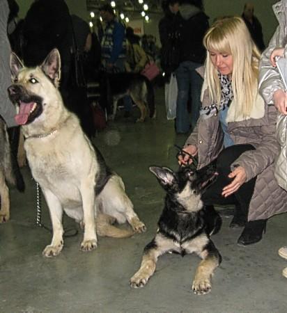 Восточноевропейская овчарка  - щенок Валентлайф Индиго Арс