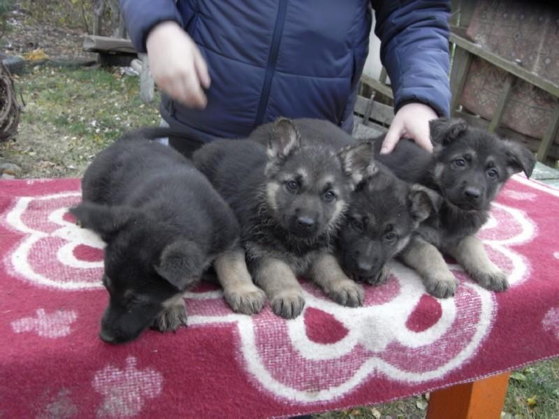 Конан - щенок восточноевропейской овчарки (метис), месяцев 6-7
