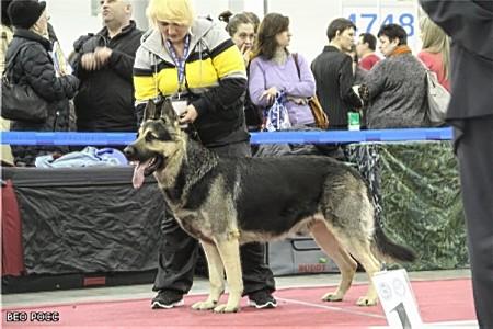 Восточноевропейская овчарка  - Валентлайф ВУЛКАН